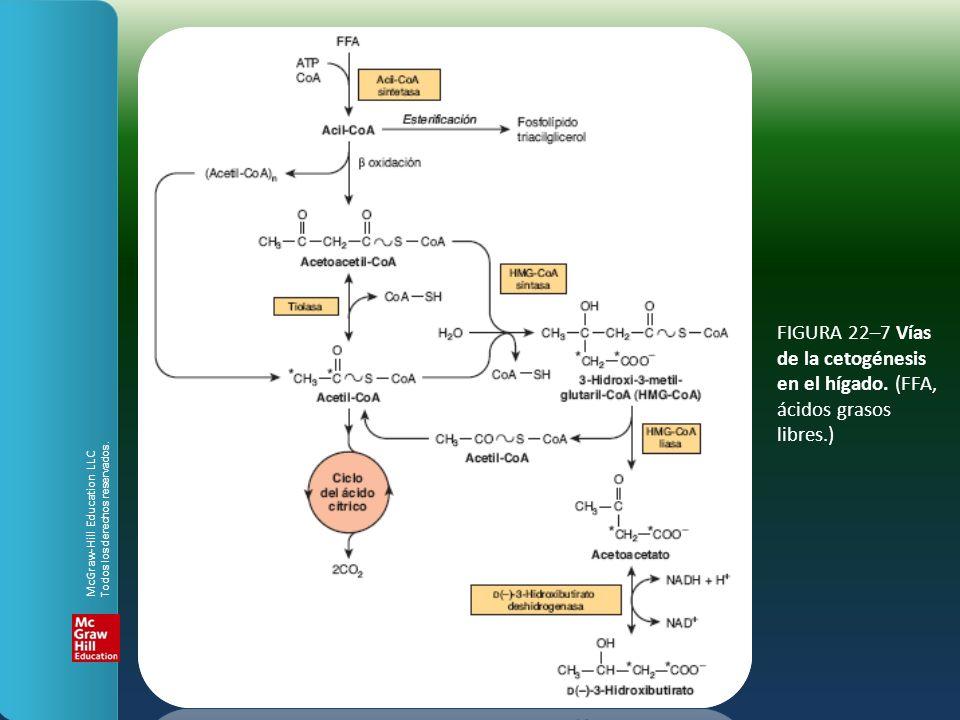 FIGURA 22–7 Vías de la cetogénesis en el hígado