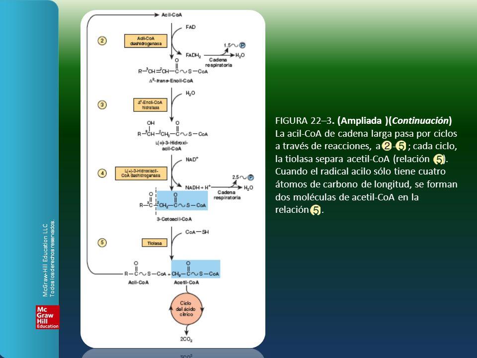 FIGURA 22–3. (Ampliada )(Continuación) La acil-CoA de cadena larga pasa por ciclos a través de reacciones, a - ; cada ciclo, la tiolasa separa acetil-CoA (relación ). Cuando el radical acilo sólo tiene cuatro átomos de carbono de longitud, se forman dos moléculas de acetil-CoA en la relación .