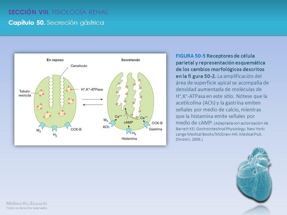 FIGURA 50-5 Receptores de célula parietal y representación esquemática de los cambios morfológicos descritos en la fi gura 50-2.
