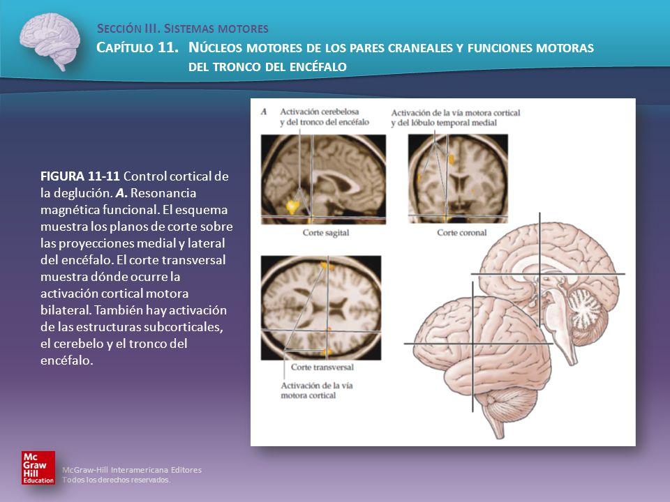 FIGURA 11-11 Control cortical de la deglución. A