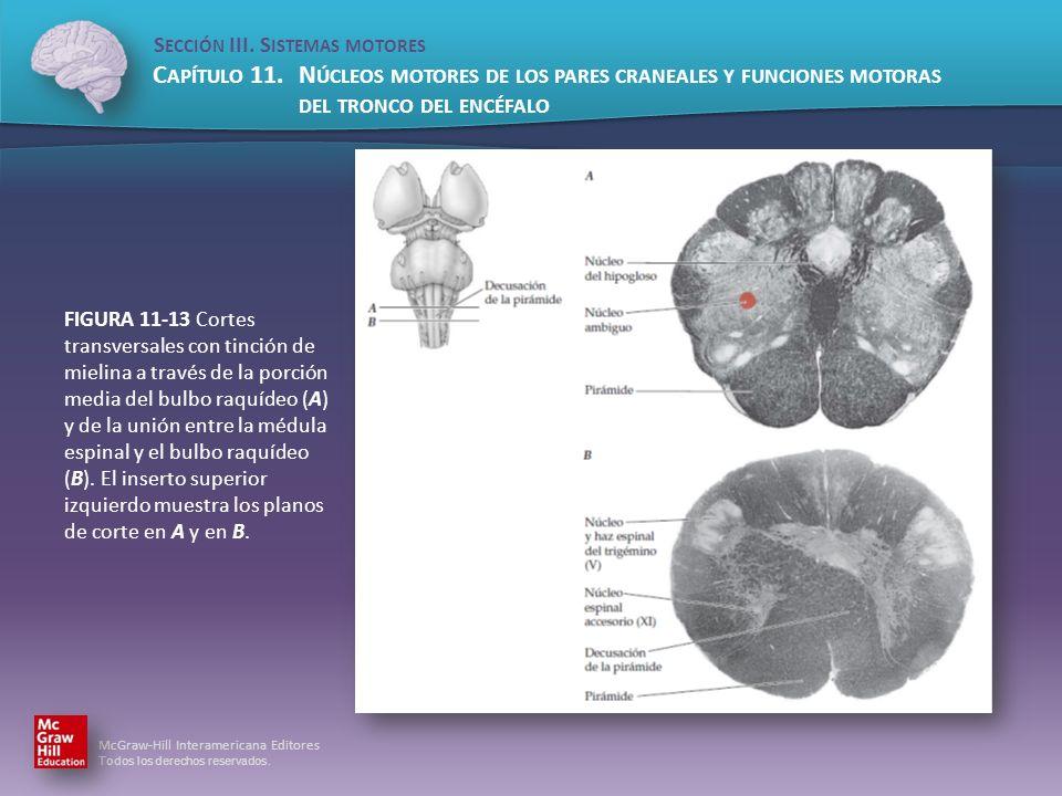 FIGURA 11-13 Cortes transversales con tinción de mielina a través de la porción media del bulbo raquídeo (A) y de la unión entre la médula espinal y el bulbo raquídeo (B).