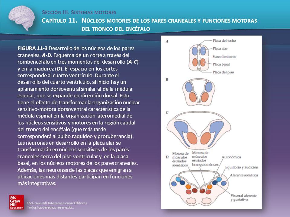 FIGURA 11-3 Desarrollo de los núcleos de los pares craneales. A-D