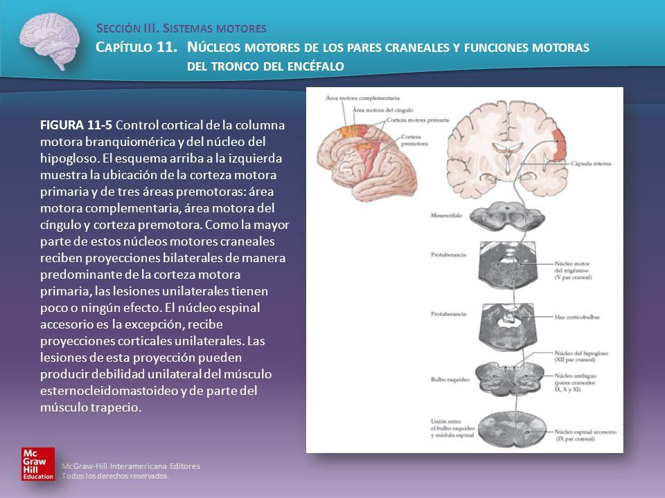 FIGURA 11-5 Control cortical de la columna motora branquiomérica y del núcleo del hipogloso.