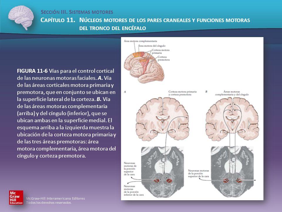 FIGURA 11-6 Vías para el control cortical de las neuronas motoras faciales.