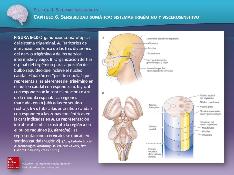 FIGURA 6-10 Organización somatotópica del sistema trigeminal. A