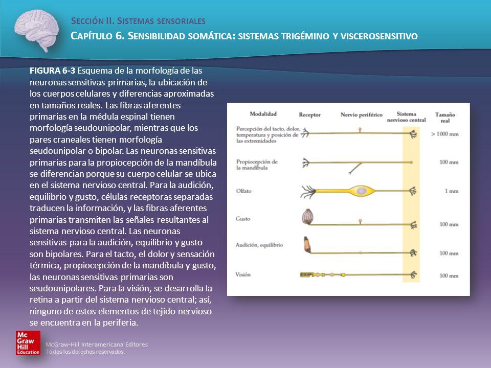 FIGURA 6-3 Esquema de la morfología de las neuronas sensitivas primarias, la ubicación de los cuerpos celulares y diferencias aproximadas en tamaños reales.