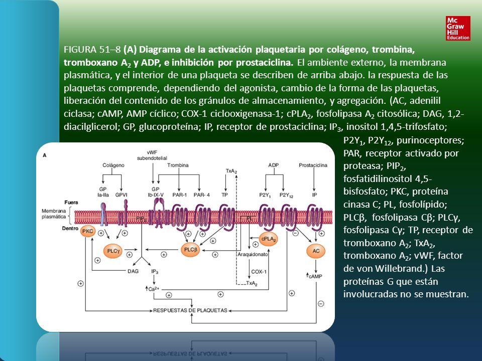 FIGURA 51–8 (A) Diagrama de la activación plaquetaria por colágeno, trombina, tromboxano A2 y ADP, e inhibición por prostaciclina. El ambiente externo, la membrana plasmática, y el interior de una plaqueta se describen de arriba abajo. la respuesta de las plaquetas comprende, dependiendo del agonista, cambio de la forma de las plaquetas, liberación del contenido de los gránulos de almacenamiento, y agregación. (AC, adenilil ciclasa; cAMP, AMP cíclico; COX-1 ciclooxigenasa-1; cPLA2, fosfolipasa A2 citosólica; DAG, 1,2-diacilglicerol; GP, glucoproteína; IP, receptor de prostaciclina; IP3, inositol 1,4,5-trifosfato;