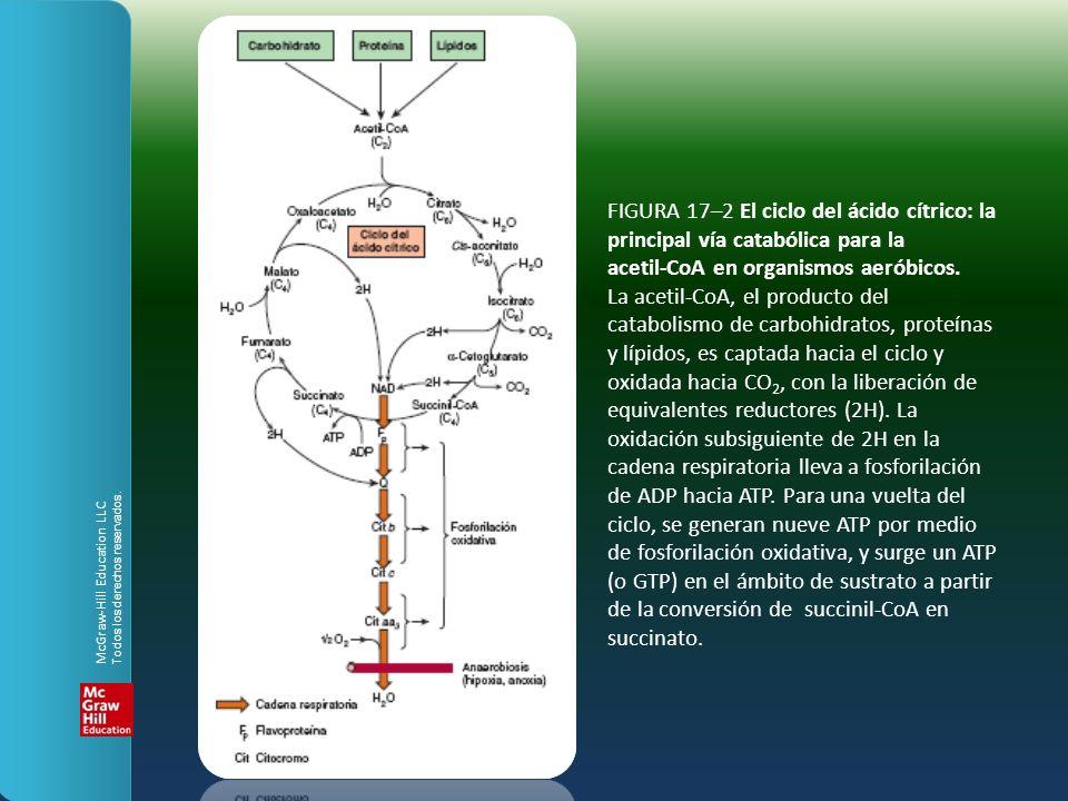 FIGURA 17–2 El ciclo del ácido cítrico: la principal vía catabólica para la acetil-CoA en organismos aeróbicos. La acetil-CoA, el producto del catabolismo de carbohidratos, proteínas y lípidos, es captada hacia el ciclo y oxidada hacia CO2, con la liberación de equivalentes reductores (2H). La oxidación subsiguiente de 2H en la cadena respiratoria lleva a fosforilación de ADP hacia ATP. Para una vuelta del ciclo, se generan nueve ATP por medio de fosforilación oxidativa, y surge un ATP (o GTP) en el ámbito de sustrato a partir de la conversión de succinil-CoA en succinato.