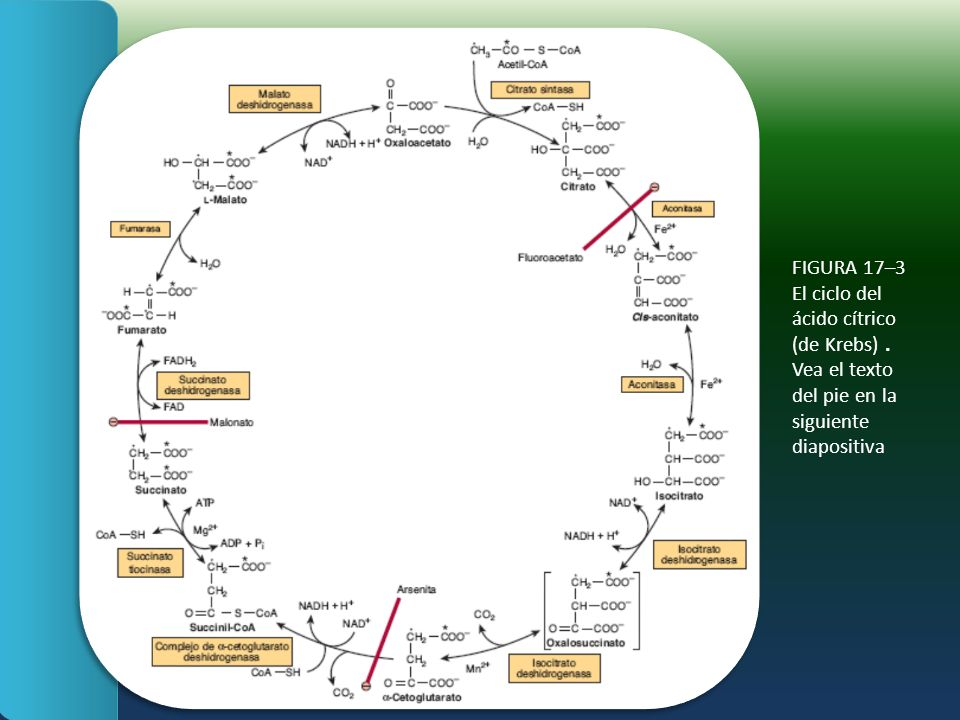 FIGURA 17–3 El ciclo del ácido cítrico (de Krebs)