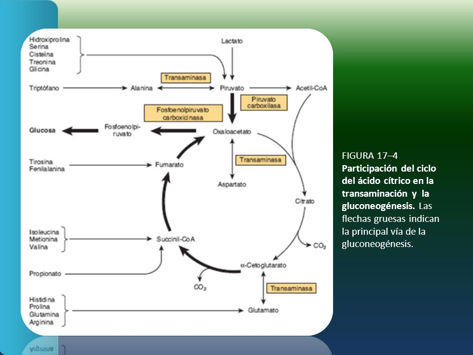 FIGURA 17–4 Participación del ciclo del ácido cítrico en la transaminación y la gluconeogénesis.