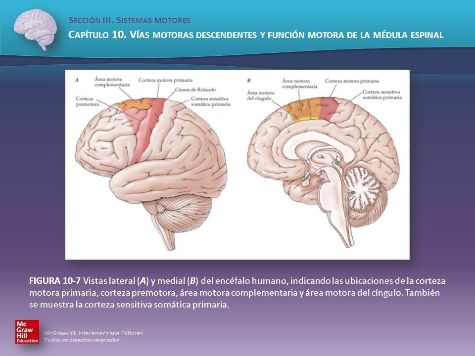 FIGURA 10-7 Vistas lateral (A) y medial (B) del encéfalo humano, indicando las ubicaciones de la corteza motora primaria, corteza premotora, área motora complementaria y área motora del cíngulo.