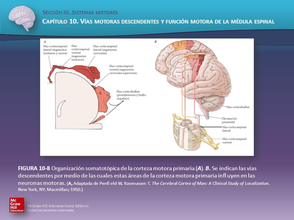 FIGURA 10-8 Organización somatotópica de la corteza motora primaria (A).