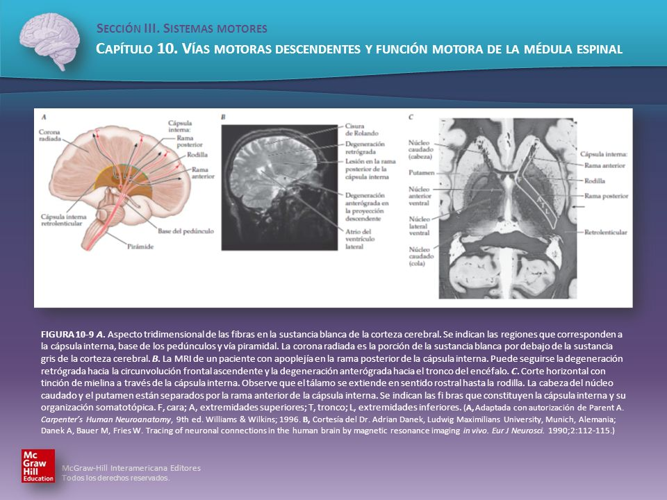 FIGURA 10-9 A.Aspecto tridimensional de las fibras en la sustancia blanca de la corteza cerebral.