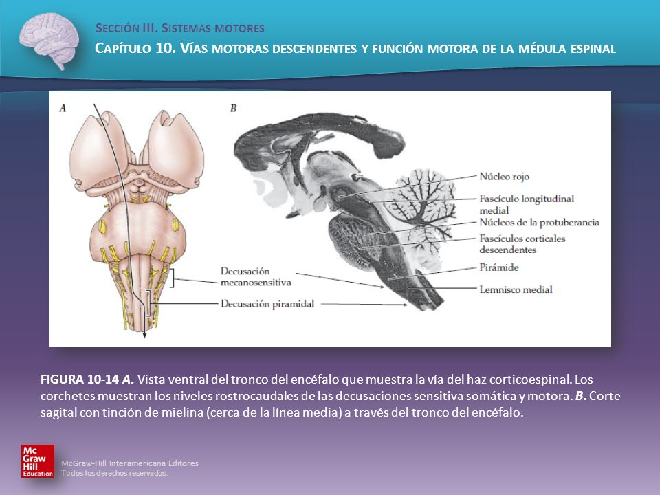 FIGURA 10-14 A. Vista ventral del tronco del encéfalo que muestra la vía del haz corticoespinal.