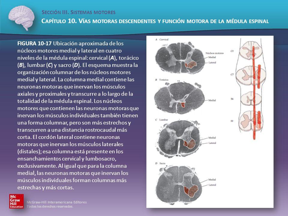 FIGURA 10-17 Ubicación aproximada de los núcleos motores medial y lateral en cuatro niveles de la médula espinal: cervical (A), torácico (B), lumbar (C) y sacro (D).