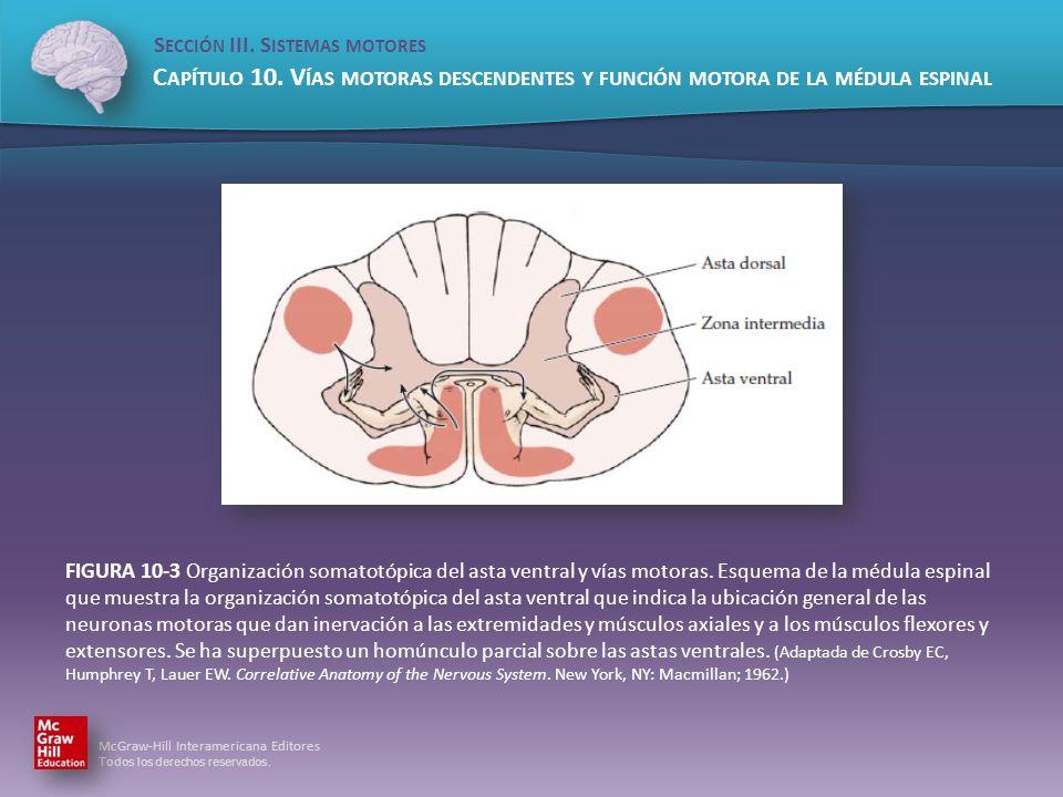 FIGURA 10-3 Organización somatotópica del asta ventral y vías motoras