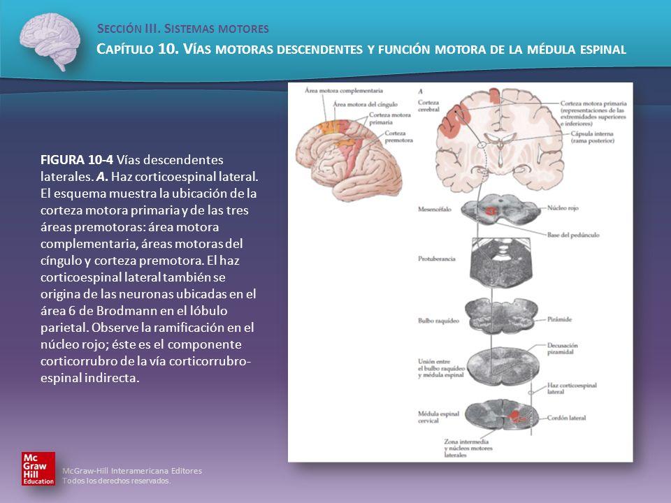 FIGURA 10-4 Vías descendentes laterales. A. Haz corticoespinal lateral