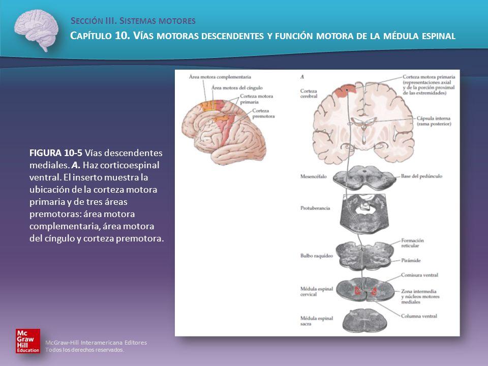 FIGURA 10-5 Vías descendentes mediales. A. Haz corticoespinal ventral