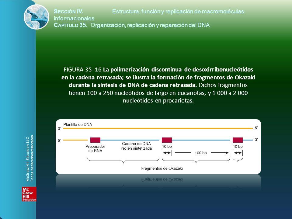 FIGURA 35–16 La polimerización discontinua de desoxirribonucleótidos