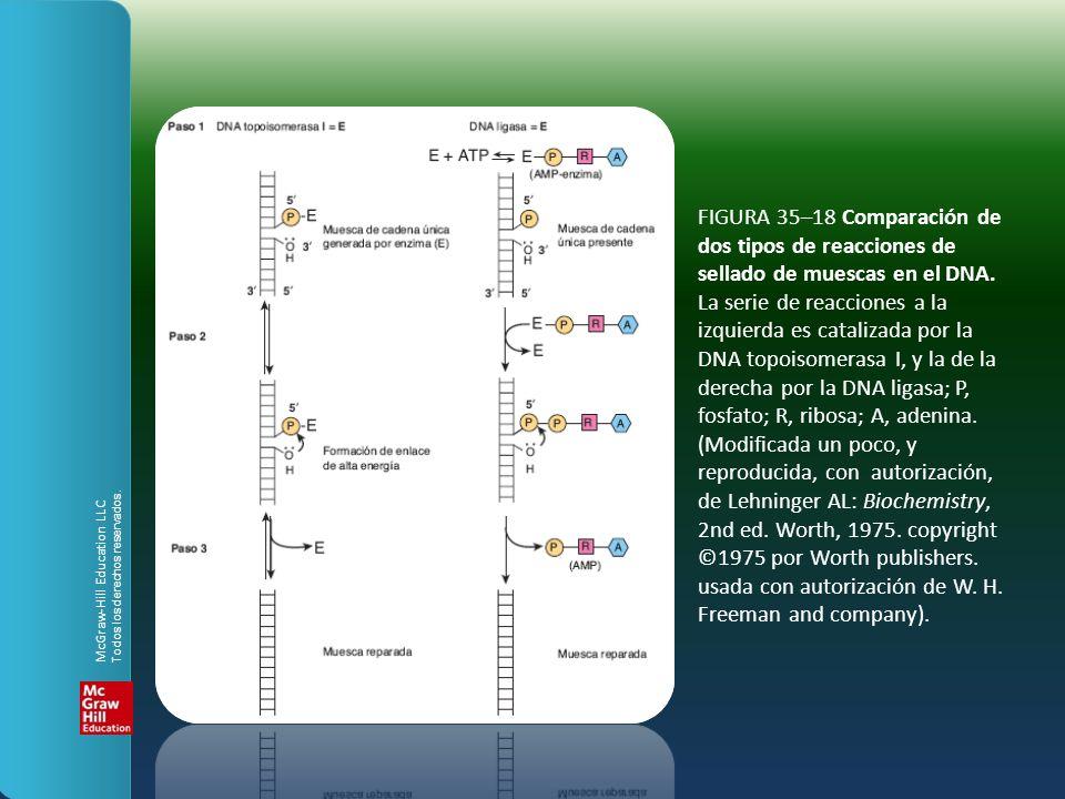 FIGURA 35–18 Comparación de dos tipos de reacciones de sellado de muescas en el DNA. La serie de reacciones a la izquierda es catalizada por la DNA topoisomerasa I, y la de la derecha por la DNA ligasa; P, fosfato; R, ribosa; A, adenina. (Modificada un poco, y reproducida, con autorización, de Lehninger AL: Biochemistry, 2nd ed. Worth, 1975. copyright ©1975 por Worth publishers. usada con autorización de W. H. Freeman and company).