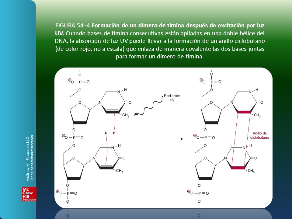 FIGURA 54–4 Formación de un dímero de timina después de excitación por luz UV. Cuando bases de timina consecutivas están apiladas en una doble hélice del DNA, la absorción de luz UV puede llevar a la formación de un anillo ciclobutano (de color rojo, no a escala) que enlaza de manera covalente las dos bases juntas para formar un dímero de timina.