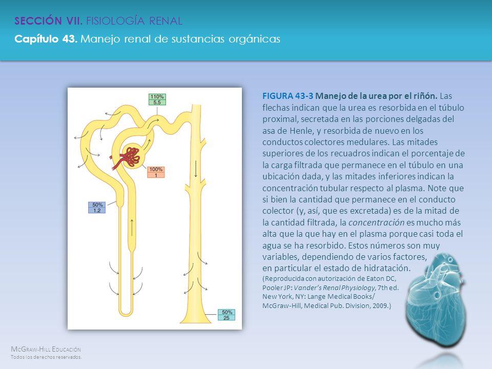 FIGURA 43-3 Manejo de la urea por el riñón