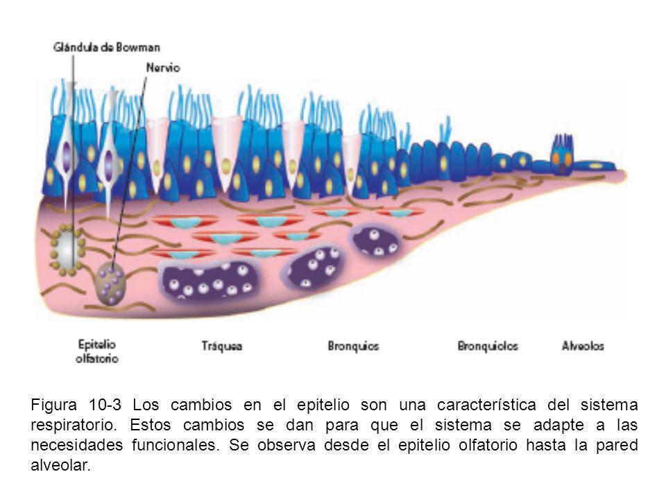 Figura 10-3 Los cambios en el epitelio son una característica del sistema respiratorio.