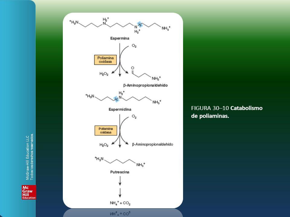FIGURA 30–10 Catabolismo de poliaminas.
