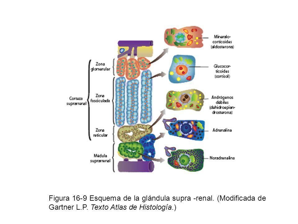 Figura 16-9 Esquema de la glándula supra -renal