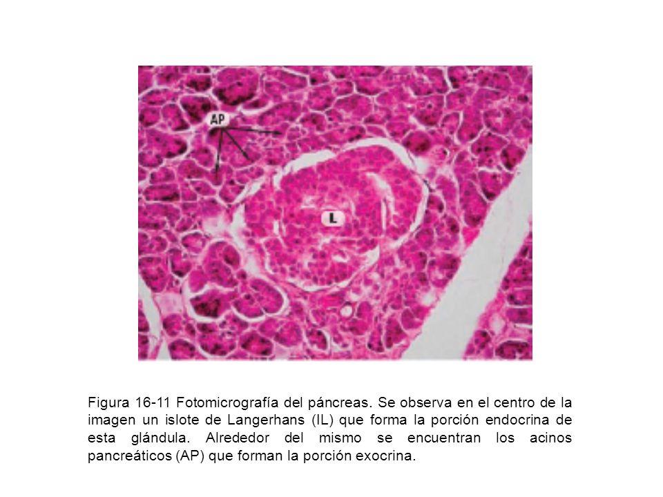 Figura 16-11 Fotomicrografía del páncreas