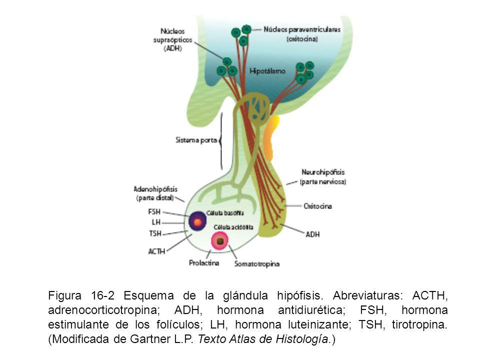 Figura 16-2 Esquema de la glándula hipófisis