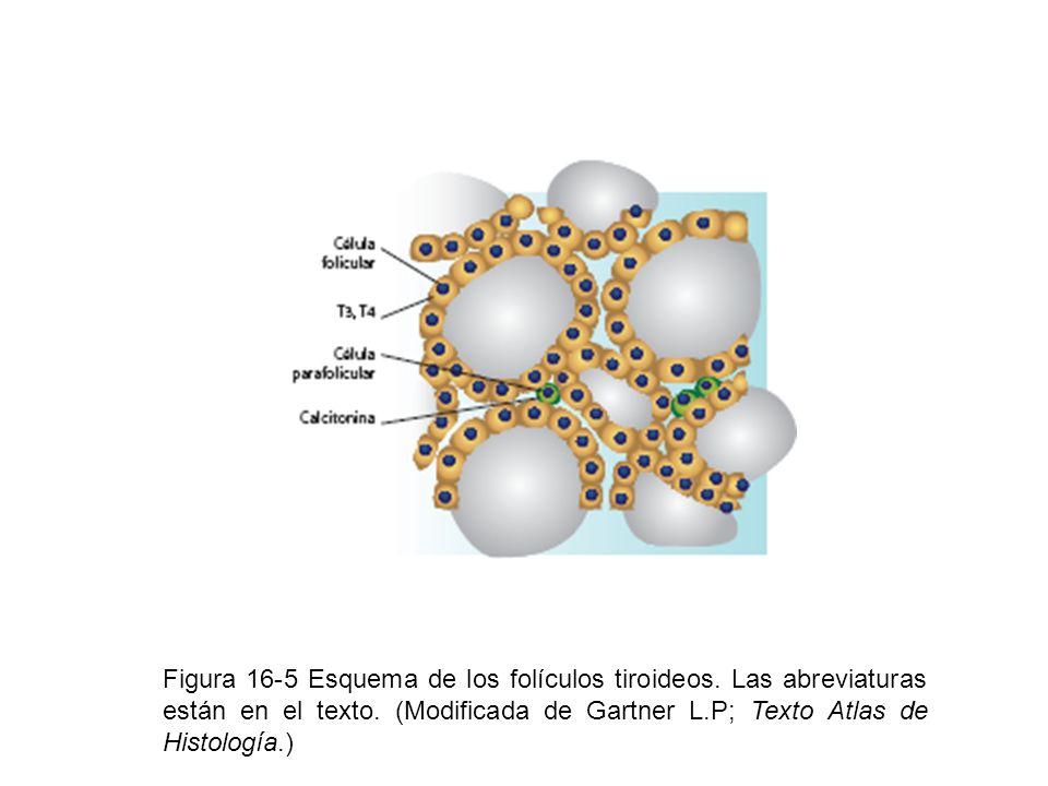 Figura 16-5 Esquema de los folículos tiroideos
