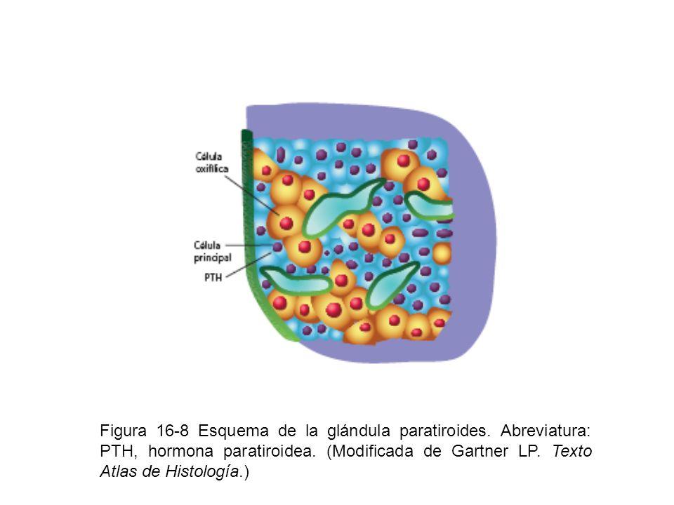 Figura 16-8 Esquema de la glándula paratiroides