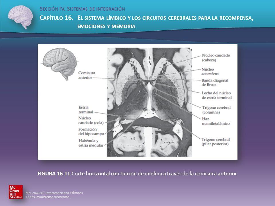 FIGURA 16-11 Corte horizontal con tinción de mielina a través de la comisura anterior.