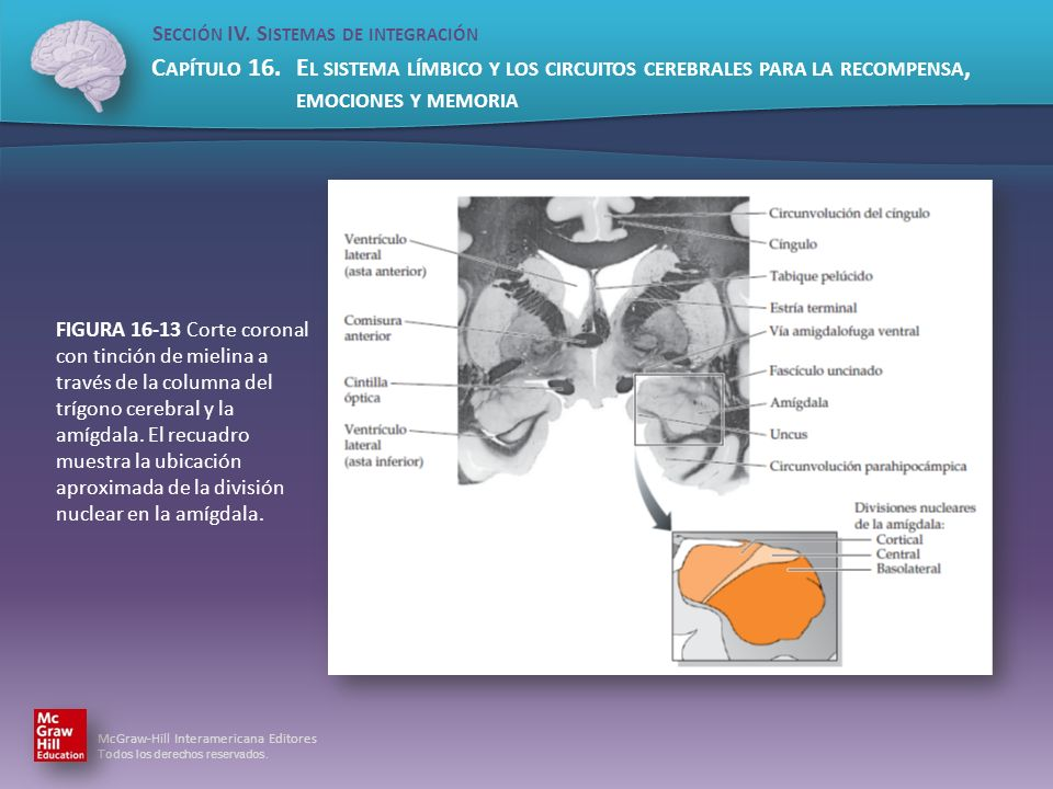 FIGURA 16-13 Corte coronal con tinción de mielina a través de la columna del trígono cerebral y la amígdala.