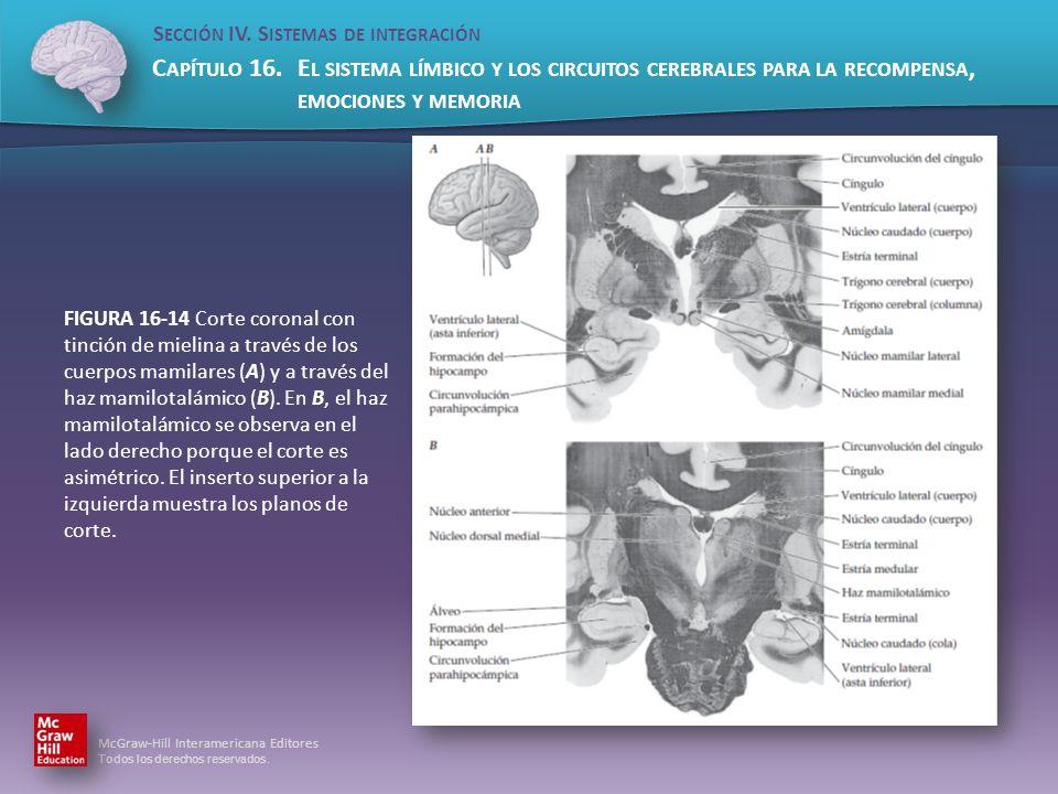 FIGURA 16-14 Corte coronal con tinción de mielina a través de los cuerpos mamilares (A) y a través del haz mamilotalámico (B).