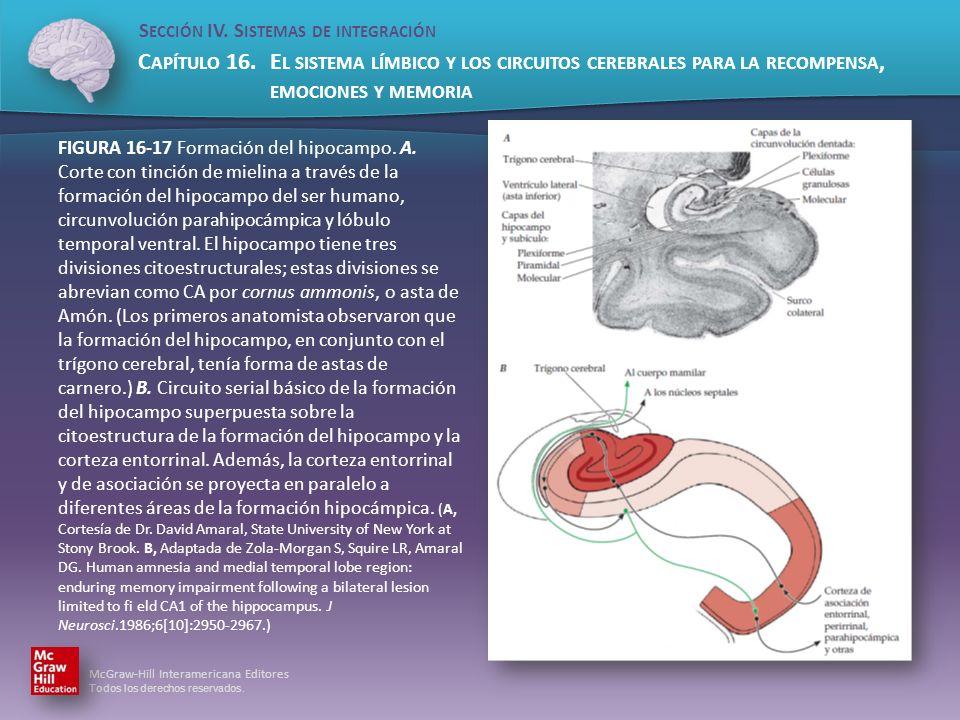 FIGURA 16-17 Formación del hipocampo. A