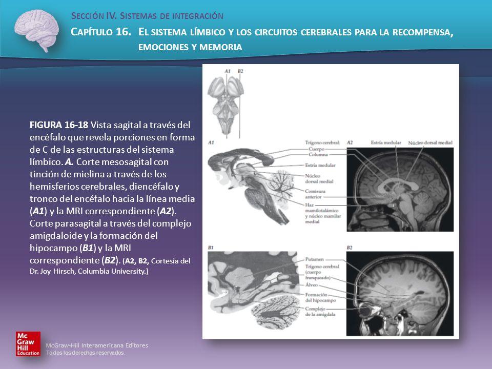 FIGURA 16-18 Vista sagital a través del encéfalo que revela porciones en forma de C de las estructuras del sistema límbico.