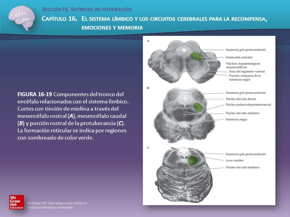 FIGURA 16-19 Componentes del tronco del encéfalo relacionados con el sistema límbico.