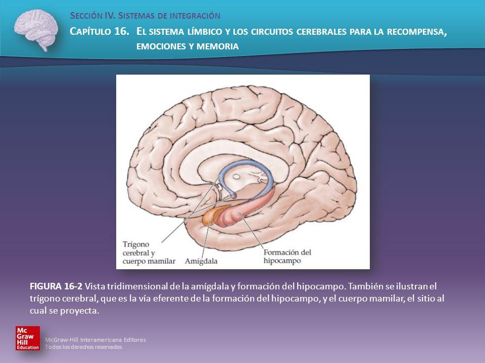 FIGURA 16-2 Vista tridimensional de la amígdala y formación del hipocampo.