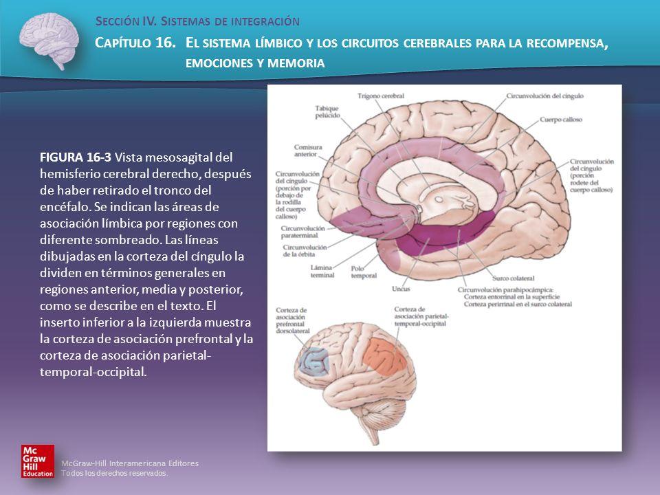 FIGURA 16-3 Vista mesosagital del hemisferio cerebral derecho, después de haber retirado el tronco del encéfalo.