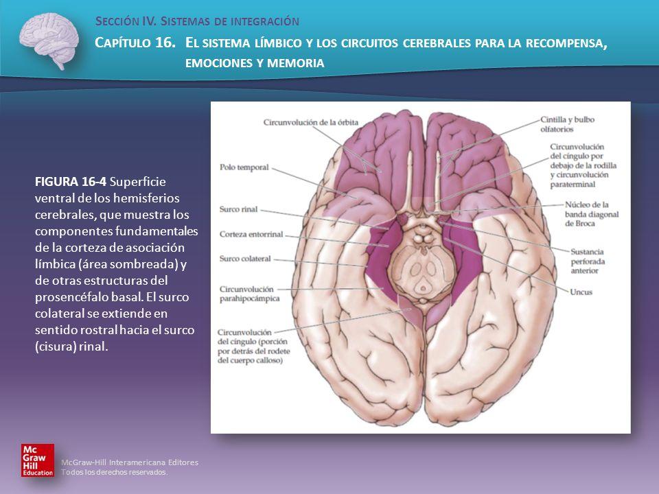 FIGURA 16-4 Superficie ventral de los hemisferios cerebrales, que muestra los componentes fundamentales de la corteza de asociación límbica (área sombreada) y de otras estructuras del prosencéfalo basal.