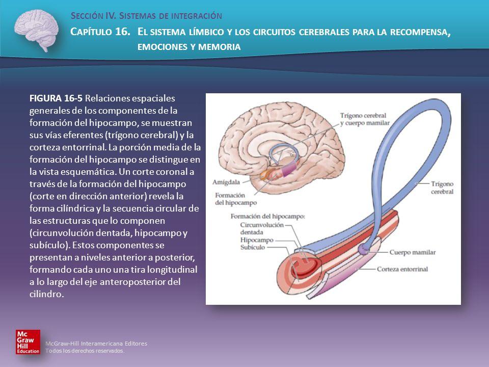 FIGURA 16-5 Relaciones espaciales generales de los componentes de la formación del hipocampo, se muestran sus vías eferentes (trígono cerebral) y la corteza entorrinal.