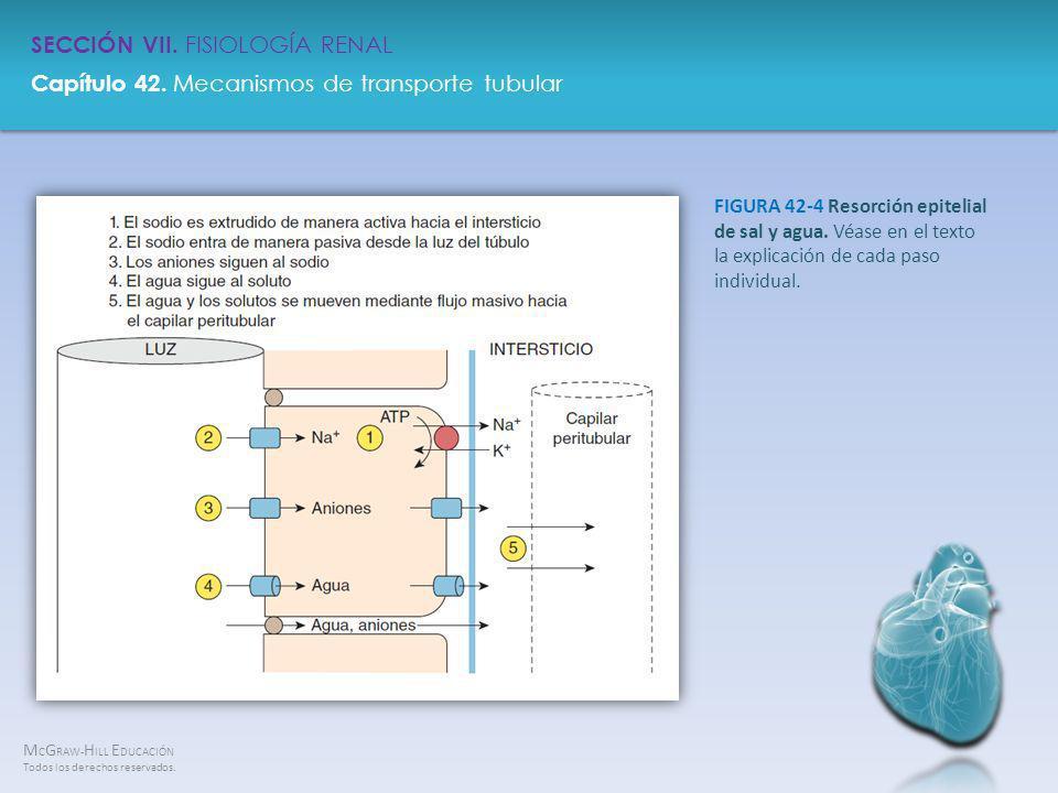 FIGURA 42-4 Resorción epitelial de sal y agua