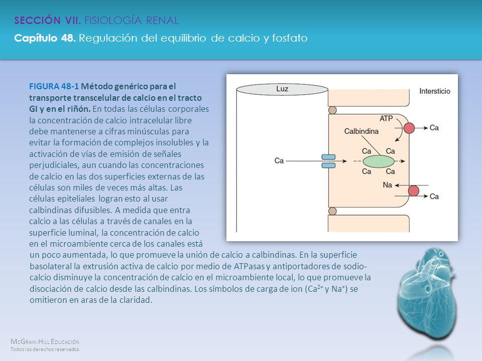 FIGURA 48-1 Método genérico para el transporte transcelular de calcio en el tracto GI y en el riñón. En todas las células corporales la concentración de calcio intracelular libre debe mantenerse a cifras minúsculas para evitar la formación de complejos insolubles y la activación de vías de emisión de señales perjudiciales, aun cuando las concentraciones de calcio en las dos superficies externas de las células son miles de veces más altas. Las células epiteliales logran esto al usar calbindinas difusibles. A medida que entra calcio a las células a través de canales en la superficie luminal, la concentración de calcio en el microambiente cerca de los canales está