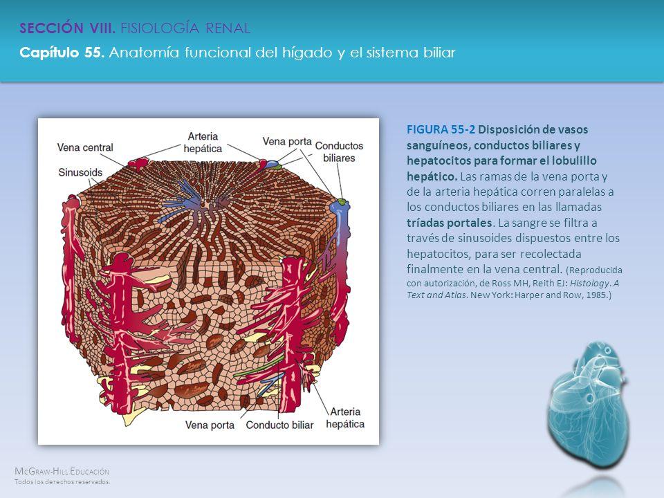 FIGURA 55-2 Disposición de vasos sanguíneos, conductos biliares y hepatocitos para formar el lobulillo hepático.