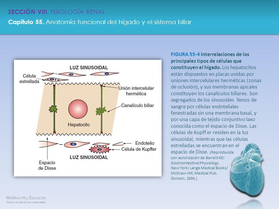 FIGURA 55-4 Interrelaciones de los principales tipos de células que constituyen el hígado.