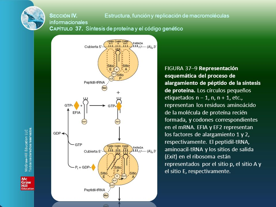FIGURA 37–9 Representación esquemática del proceso de