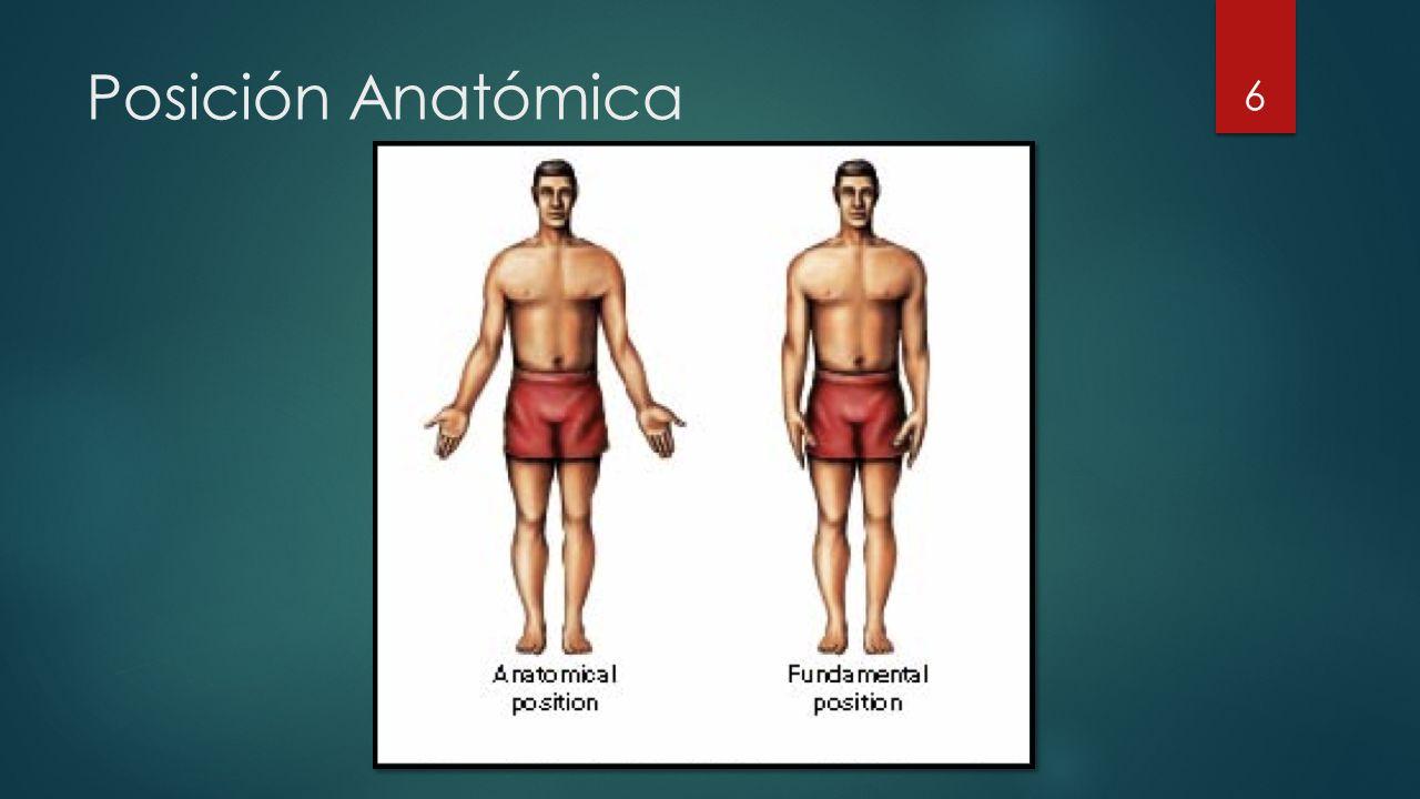 Posición Anatómica