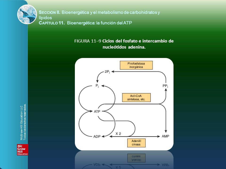 FIGURA 11–9 Ciclos del fosfato e intercambio de nucleótidos adenina.